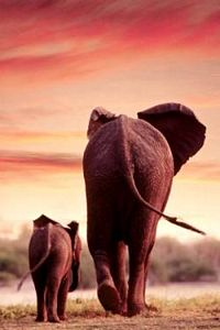 Elephant & Calf Walking Poster Laminted by Safari, elephant poster, safari poster