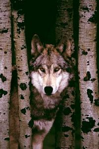 Grey Wolf Poster by Safari, detailed grey wolf poster in forest