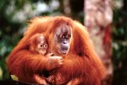 Orangutan with Baby Poster