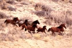 Mustangs Running Poster Laminated, A great detailed action shot of mustangs running by Safari.