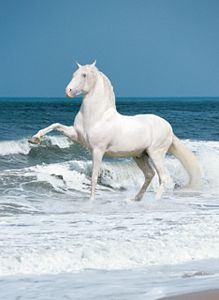 Andalusian Stallion Poster -Laminated