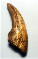 Nanotyrannus Dinosaur Foot Claw Replica