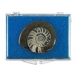 Ammonite Button Fossil Educational Box