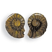 Fossil Ammonite Matched Halves in Edu Box