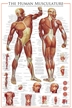The Muscular System Poster