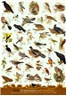 Birds of Mountain and Woodland Poster - Laminated
