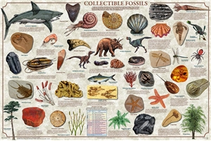 Collectible Fossils Laminated Poster