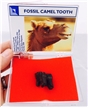 Prehistoric Fossil Camel Tooth in Box