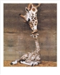 Giraffe - First Kiss Poster