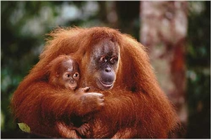 Orangutan Mother and Baby Poster