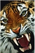 Bengal Tiger Close-Up Poster