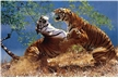 Tigers Fighting Poster