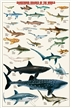 Dangerous Sharks of the World Poster