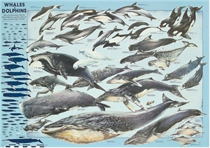 Whales & Dolphins Poster