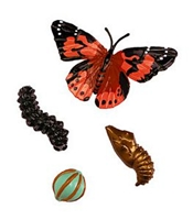 Painted Butterfly Lifecycle Stages