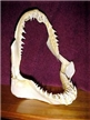 Authentic Mako Shark Jaw 9""