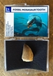Real Mosasaur Dinosaur Tooth Fossil in Collection Box