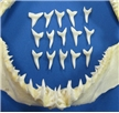 "Dozen 1"" Mako Shark Tooth"