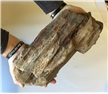 Large Petrified Fossilized Tree Wood Log 13 lbs -Display Decor Piece
