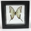 Real Butterfly Framed | Neographium Agesilaus