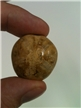 Authentic Fossil Echinoid Polished
