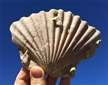 Fossilized Pectin Scallop Shell 6""