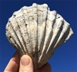 Fossilized Pectin Scallop Shell 5""