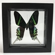 Real Butterfly Framed | Urania Leilus