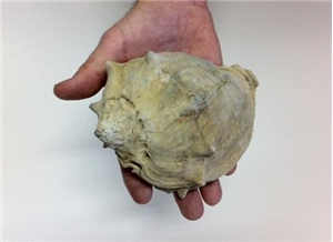 Large Fossilized Seashell