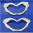 Authentic Shark Jaw - 8""