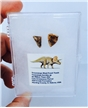 Fossilized Triceratops Shed Teeth