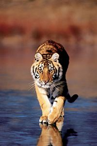 Tiger Walking  Poster Laminated by Safari, tiger poster, wlaking tiger poster by Safari, kids poster