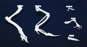 Hind Limb Comparison Set - five classes of vertebrates, learn about animals, animal skeleton, animal
