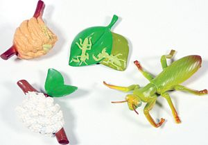 Praying Mantis LifeCycle Stages