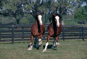 Clydesdales Running Poster- Laminated