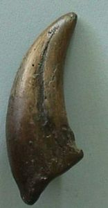 Gorgosaurus Claw Replica, dinosaur claw, dinosaur claw model, dinosaur claw resin model replica