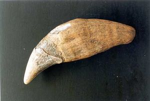 Cave Bear Tooth Replica