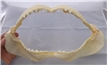 Authentic Tiger Shark Jaw - 13 1/2