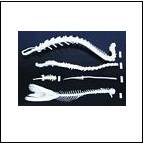 Skeleton Models, animal skeletons, vertabrae, skulls, scientific skeletons, human body skeleton model