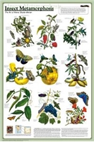 Insect Metamorphism Poster (Laminated)