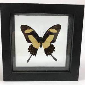 Real Butterfly Framed | Heraclides Garleppi