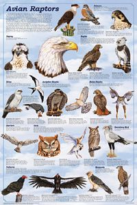 Avian Raptors Poster (Laminated)